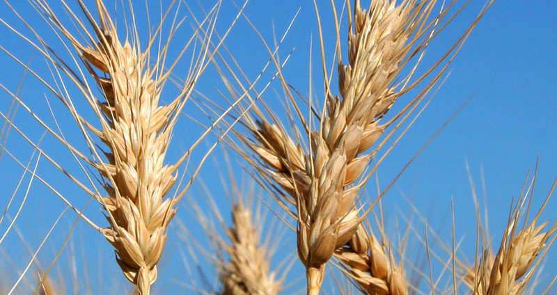 Research Impact Environmental Story Wheat
